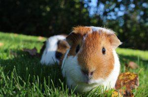 cochon d'inde dans l'herbe